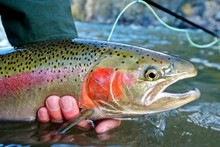 Steelhead Trout Caught While F...