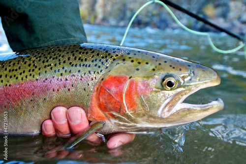 Deurstickers Vissen Steelhead trout caught while fly fishing