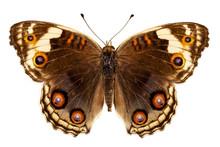 Butterfly Species Junonia Orit...