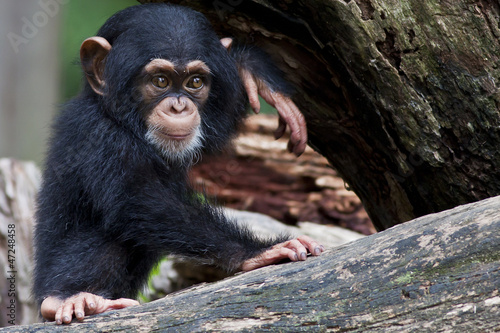 Baby chimpanzee Tablou Canvas