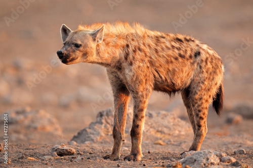 In de dag Hyena Spotted hyena, Etosha National Park