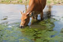 Female Banteng Drinking Water