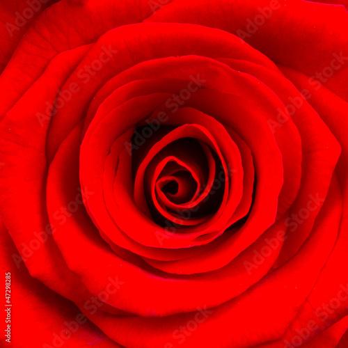 zakonczenie-jaskrawa-czerwieni-roza