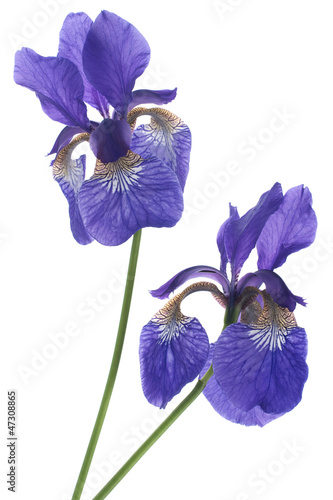 Tuinposter Iris iris