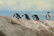 African Penguines