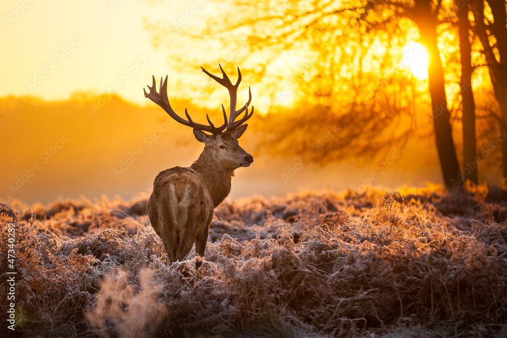 Fototapeta Red Deer in morning Sun.