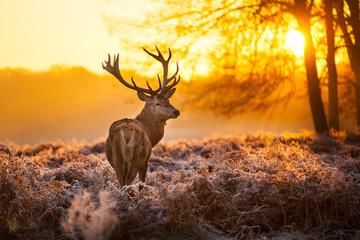 Crveni jelen u jutarnjem suncu.