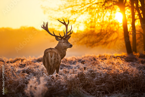 Poster Hert Red Deer in morning Sun.