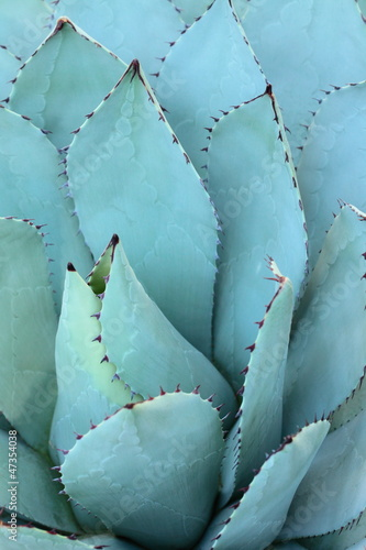 Foto op Canvas Cactus Sharp pointed agave plant leaves bunched together.