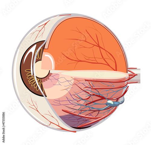 Fényképezés  Vector image of eyeball anatomy