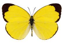 "Butterfly Species Eurema Alitha ""grass Yellow"""