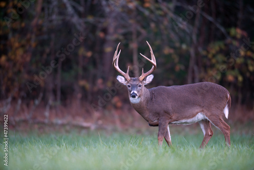 Large whitetail deer Wallpaper Mural