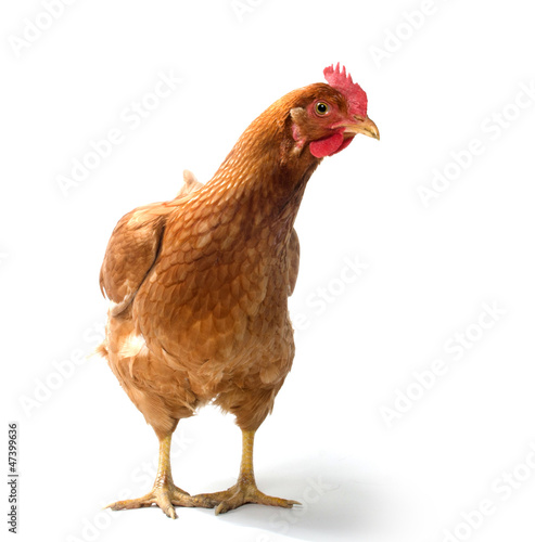 Photo sur Toile Poules Red sex link chicken