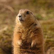 Black-tailed Prairie Marmot - ...
