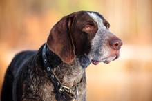 German Shorthaired Pointer Dog...