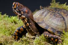 Box Turtle / Terrapene Carolina