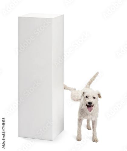 Obraz na płótnie Parson Russell terrier urinating on a pedestal