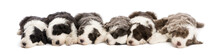Group Of Bearded Collie Puppie...