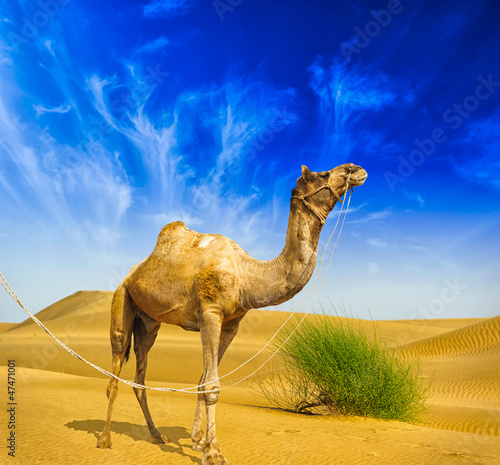 Fotobehang Kameel Desert landscape. Sand, camel and blue sky with clouds. Travel a