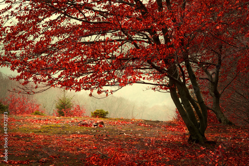 Photo sur Toile Rouge mauve Beautiful forest during a foggy autumn day