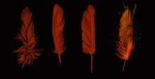 Four Dark Red Feathers Isolate...