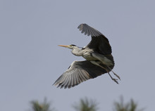 Gray Heron Flying Over The Forest.