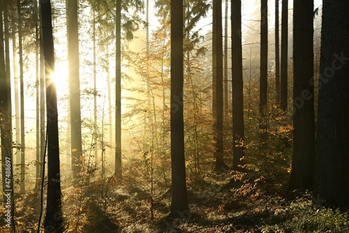 Papiers peints Forets Autumn coniferous forest on a foggy morning