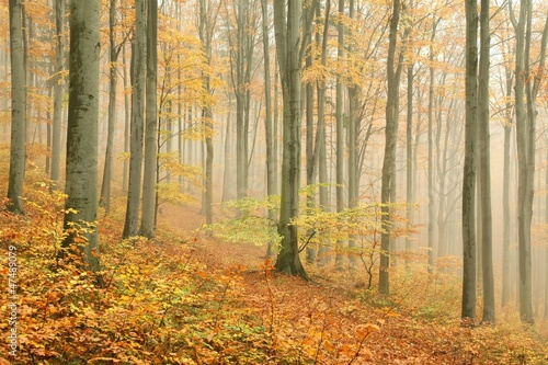 Foto auf Acrylglas Wald im Nebel Autumn beech forest surrounded by mountain mist