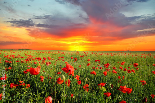 Poster Poppy field with poppies