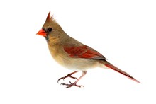 Isolated Female Cardinal On White