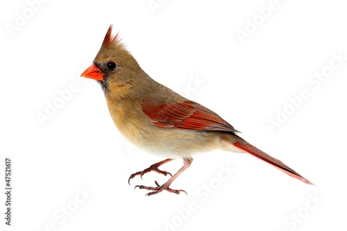 Aufkleber - Isolated Female Cardinal on White