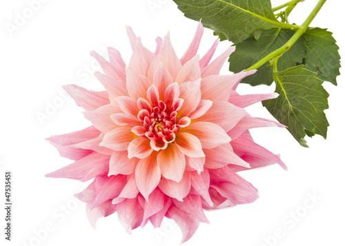 Poster de jardin Dahlia pink of a dahlia isolated