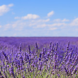 Lavender flower blooming fields horizon. Valensole Provence, Fra