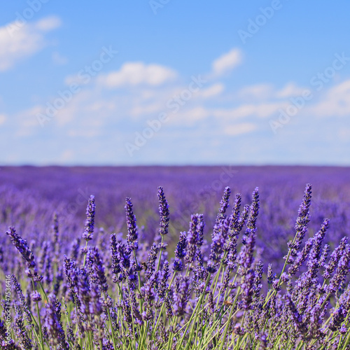 Spoed Foto op Canvas Lavendel Lavender flower blooming fields horizon. Valensole Provence, Fra