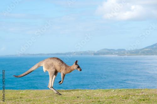 Spoed Foto op Canvas Kangoeroe Kangaroos - Australia