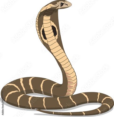 Photo  Cobra on White Background