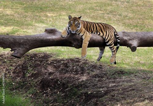 Tuinposter Panter Tiger