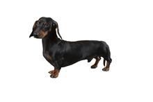 Pies Rasowy, Puppy