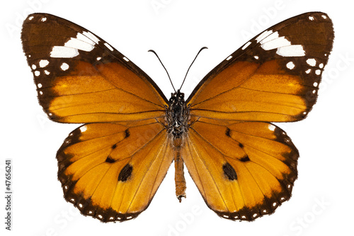 "Fotografie, Obraz  Butterfly species danaus chrysippus ""plain tiger"""