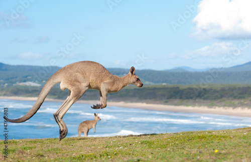 Deurstickers Kangoeroe Kangaroos - Australia
