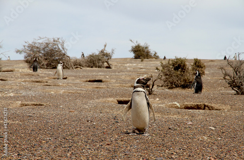 Keuken foto achterwand Begraafplaats Penguins Magellanic in the wild nature of Patagonia.