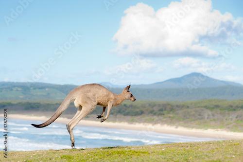 Foto op Plexiglas Kangoeroe Kangaroos - Australia