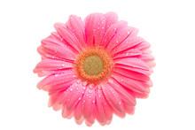 Beautiful Pink Gerbera With Dr...
