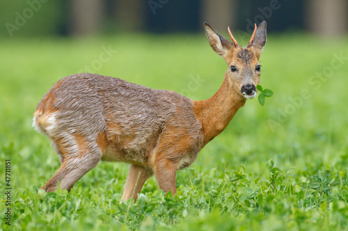 Young roe buck in clover meadow