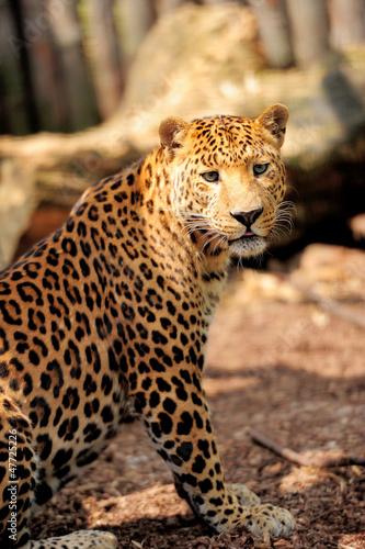 Staande foto Leeuw Leopard