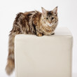 pedigree cat