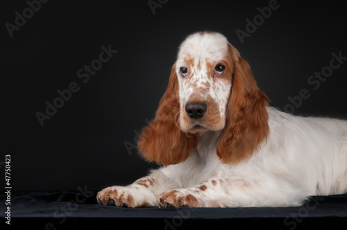 Fotografie, Obraz  Sad spaniel on a black background