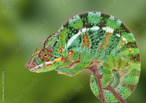 Staande foto Kameleon caméléon