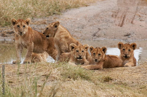 Photo  Serengeti baby lions