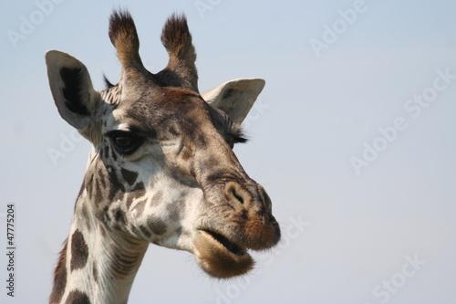 Giraffen in Afrika Poster